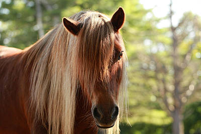 Forelock Photograph - Pony Portrait by Cheryl Ogilvie
