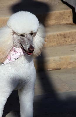 Photograph - Poodle Alert by Cora Wandel