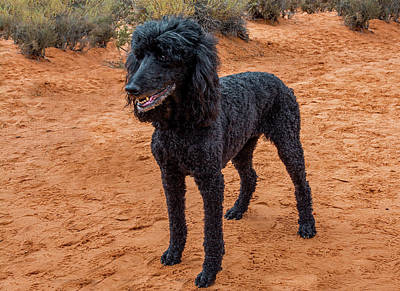 Photograph - Poodle by Alex Galkin