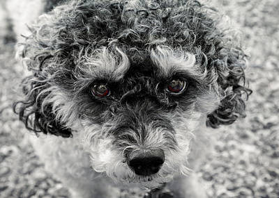 Photograph - Poodle Eyes by Keith Armstrong