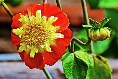Photograph - Pooh Collarette Dahlia In Golden Gate Park In San Francisco, California  by Ruth Hager