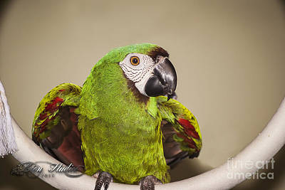Photograph - Pookie Severe Macaw by Melissa Messick