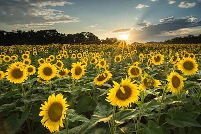 Poolesville Sunflowers Color Art Print by Martin Radigan