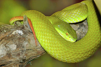 Photograph - Pope's Pit Viper  by Kris Mercer
