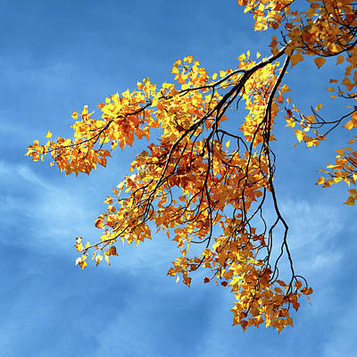 Photograph - Poplar Leaves In Autumn by Nicholas Blackwell