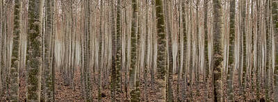 Photograph - Poplar Line Up by Jean Noren