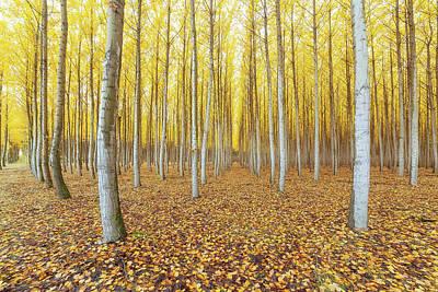 Photograph - Poplar Tree Farm In Boardman Oregon In Fall by David Gn