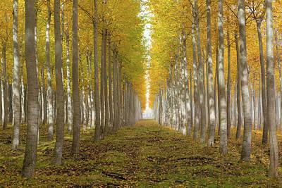 Photograph - Poplar Tree Farm In Boardman Oregon On Fall Morning by David Gn