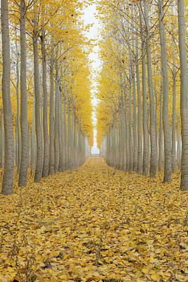 Poplar Tree Farm One Foggy Morning In Fall Season Art Print