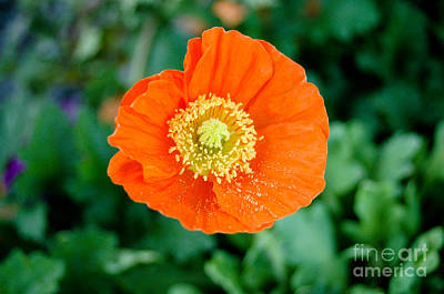 Poppie Art Print by Maureen Norcross