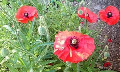 Photograph - Poppies 1164 by Julia Woodman