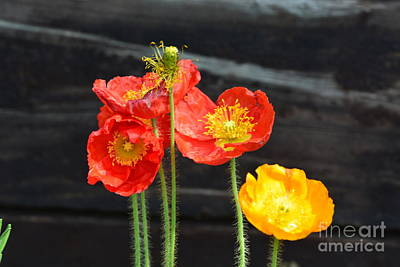 Photograph - Poppies 17-01 by Maria Urso