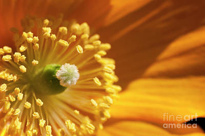Photograph - Poppies 5 - Tangerine Dream by Wendy Wilton