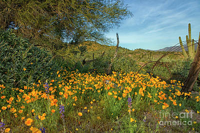 Photograph - Poppies Abound by Tom Kelly