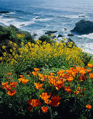 Poppies Along Coast Ca Usa Art Print by Panoramic Images