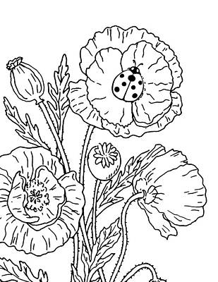Drawing - Poppies And Ladybug Drawing by Irina Sztukowski