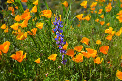 Photograph - Poppies And Lupine by Glenn McCarthy Art and Photography