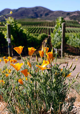 Photograph - poppies and Vines by Gary Brandes