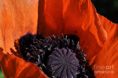 Photograph - Poppies by Anjanette Douglas