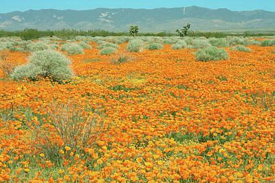 Photograph - Poppies For Ever - Poppy Fields Mohave Desert California by Ram Vasudev