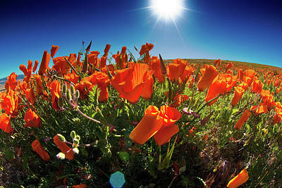 Photograph - Poppies by Harry Spitz