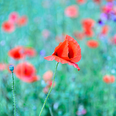 Art Print featuring the photograph Poppies In A Field by Marion McCristall