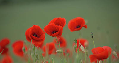 Photograph - Poppies In A Meadow by Peter Walkden