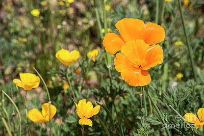 Photograph - Poppies In Bloom by Kathy McClure