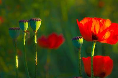 Poppies In Evening Light Art Print
