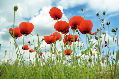 Poppies In Field Art Print