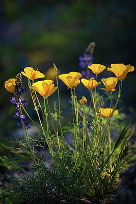 Photograph - Poppies In The Perfect Light  by Saija Lehtonen