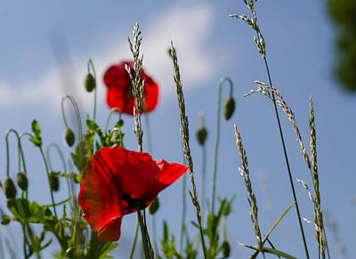 Poppies In The Skies Art Print
