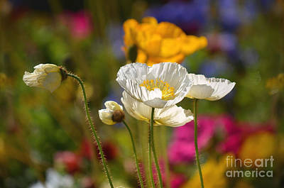 Photograph - Poppies In The Spring by Deb Halloran