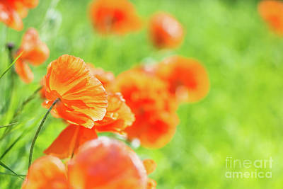 Photograph - Poppies In The Sun by Cheryl Baxter