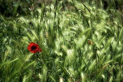 Photograph - Poppies In Wheat by Raffaella Lunelli