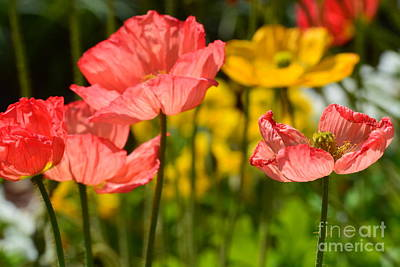 Photograph - Poppies by Maria Urso