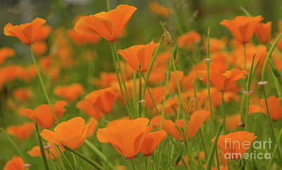 Photograph - Poppies by Nick Boren