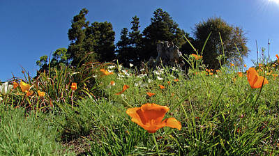 Photograph - Poppies No. 8 by Sandy Taylor
