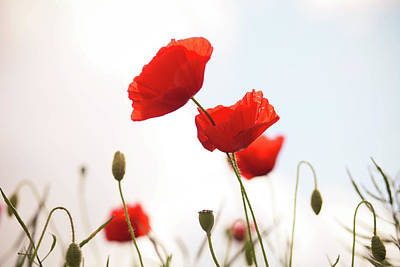 Poppies Print by Olivia Bell Photography