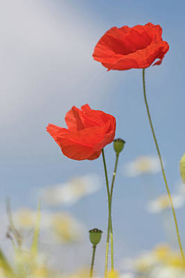 Photograph - Poppies Reaching For The Skies by Peter Walkden