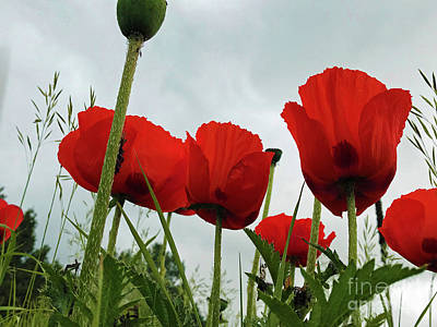 Photograph - Poppies by Steven Parker