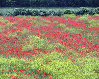 Photograph - Poppies by T Guy Spencer