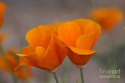 Photograph - Poppies by Tom Griffithe