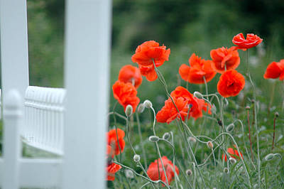 Flower Photograph - Poppies Wild  by Emily Stauring