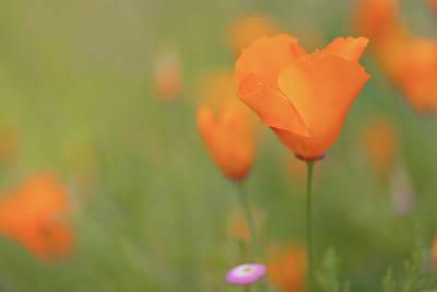 Photograph - Poppy 1 by Laura Macky