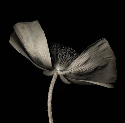 Photograph - Poppy 1 by Simone Ochrym
