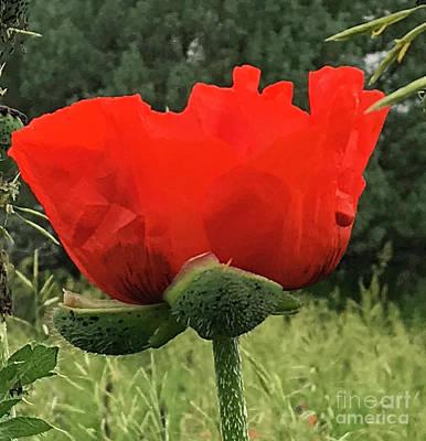 Photograph - Poppy 2 by Steven Parker