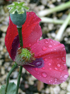 Photograph - Poppy After The Rain #5 by Kim Tran