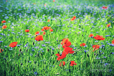 June Photograph - Poppy And Blue Centaury Flowers Field In Summer. by Michal Bednarek