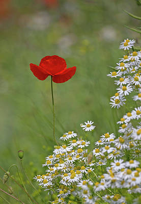 Photograph - Poppy And The Daisies by Peter Walkden
